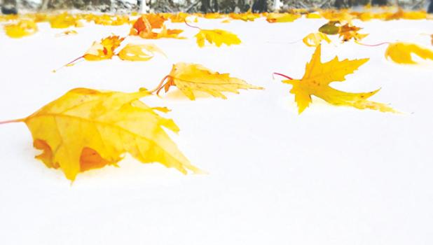 As if it were a battle between fall and winter, fall leaves settle on top of the snow as if it were a battle between fall and winter.