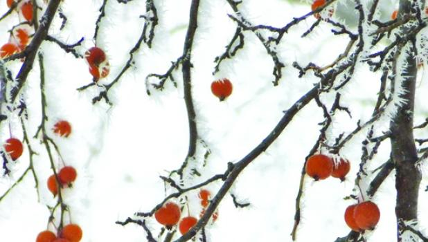 Small crabapples still cling to branches as frost engulfs them