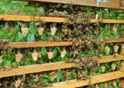 A part of Pesch's expansion process in Texas was the queen bee cells on a frame.