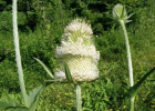 The flowers of cutleaf teasel have distinctive bracts and the stems are prickly.