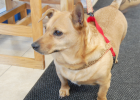 Roger waits in the school office before beginning his work day. Each morning, Roger gets excited when he sees Hetland grab his leash at home, knowing he will soon be seeing the students and faculty that he works with at school.
